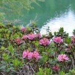 Alpenrosenblühen in Südtirol